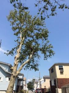 Tree Trimming Brooklyn