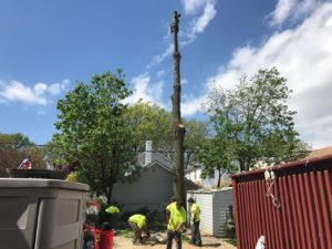 Tarzan Tree Removal aka the Best Tree Brooklyn Tree Removal!