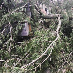 Sick Fallen Tree
